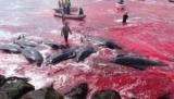 Скандальный фестиваль видит сотни китов перебьют