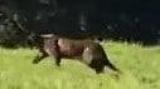 Черная пантера пойман на видео в северном побережье Сиднея