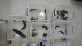 Редкие ящерицы нашли в рисоварки направился в Китай