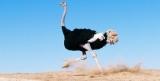 Ученые объяснили, почему у страуса четыре колена